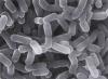 Лактобактерии казей